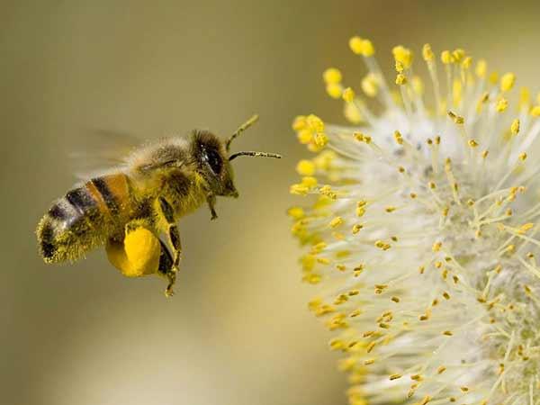 BeePollen Ползи от пчелен прашец