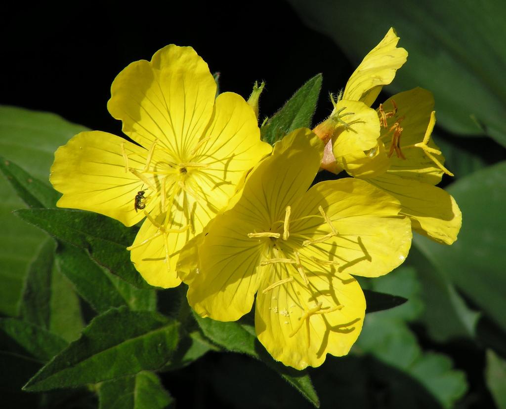 evening primrose oil Ползи от билката Вечерна иглика като хранителна добавка