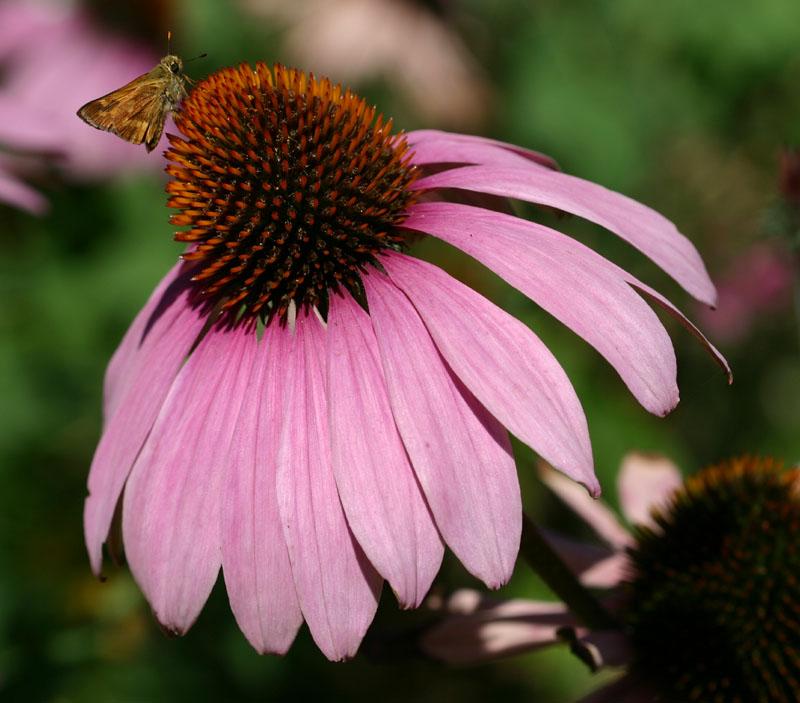 echinacea purpurea Ехинацея за тонус и имунитет