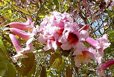 mravcheno darvo Мравчено дърво   полезни свойства