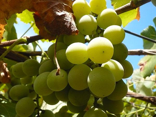 grozde ekstrakt Екстракт от гроздове семе