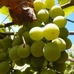 Екстракт от гроздове семе
