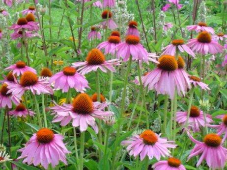 echinacea 1 Ехинацея   ефекти от тази билка