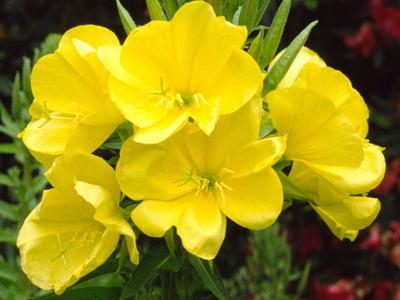 primrose 0 Масло от вечерна иглика