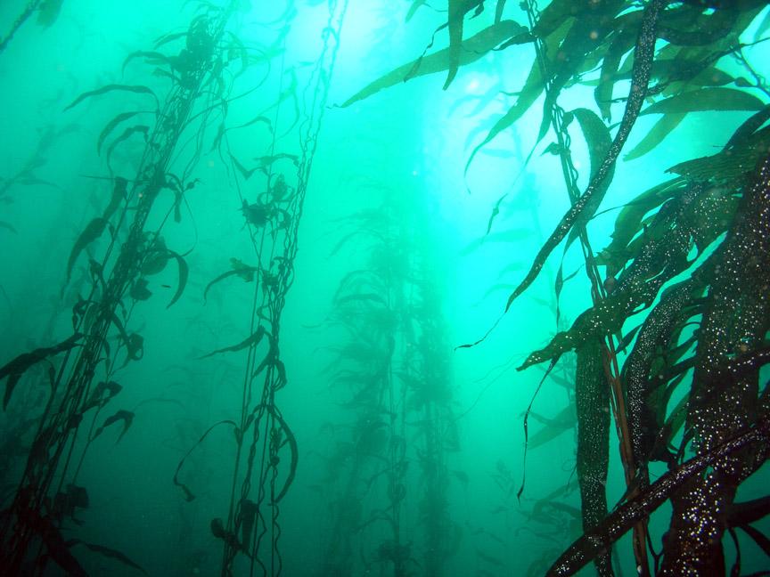 kelp Келп – произход и важни факти