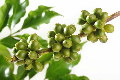 zeleno kafe cena Цена на зелено кафе за отслабване и има ли странични ефекти