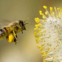 Ползи от пчелен прашец