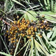 Сао палмето – билката за мъже