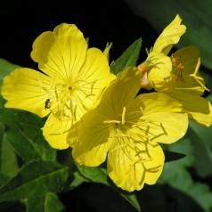 Ползи от билката Вечерна иглика като хранителна добавка