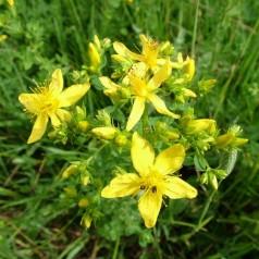 Жълт кантарион (растението Свети Йоан)
