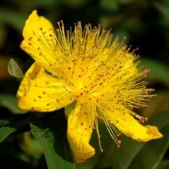 Ползите от Жълт кантарион